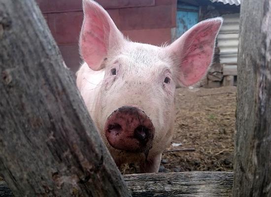 африканская чума свиней инструкция - фото 3